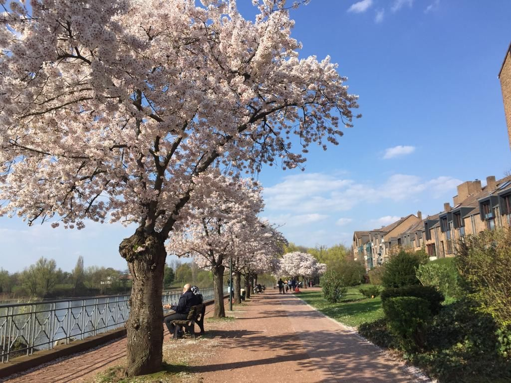 Sakura In Dusseldorf Or Where To Find The Best Spots To See Cherry Blossom Dream And Wanderland Holidays Germany Europe Travel Places To See