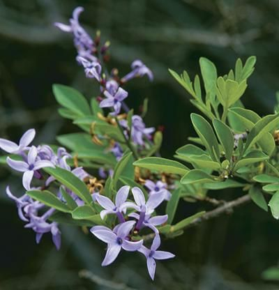 Syringa × laciniata | Fine Gardening another heat tolerant lilac, mildew resistant too. More a shrub than a tree