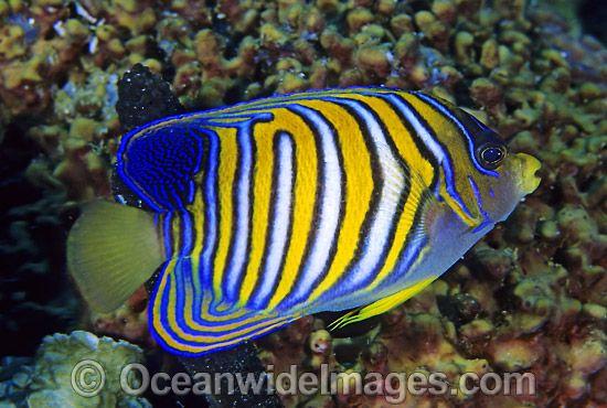 Regal Angelfish Pygoplites Diacanthus Photo 24m1000 03 Angel Fish Fish Pet Under The Sea