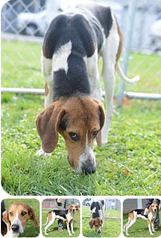 Treeing Walker Coonhound Mix M 1 Year 2302 Named Raider In