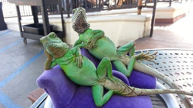 Lounging Lizards Become Celebrities As Fans Snap Photos At