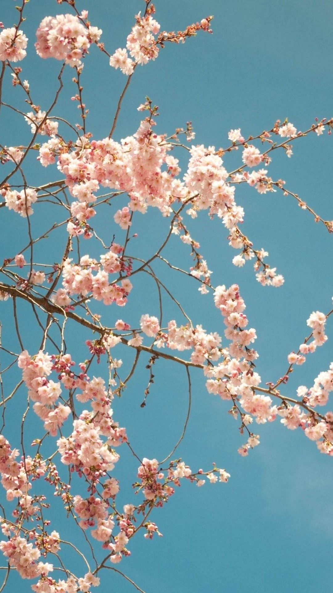Aesthetic Cherry Blossom Iphone Wallpaper