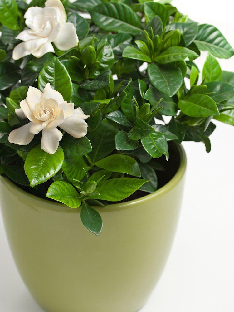 7 Houseplants With Secret Health Benefits Gardenia Plant