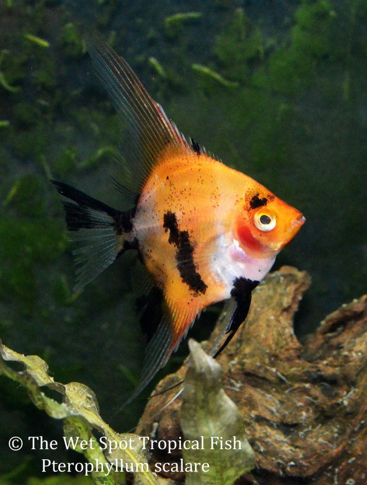 6 Small Red Koi Angelfish Pterophyllum Scalare Freshwater Live Tropical Fish Ebay Akvarium Podvodnyj