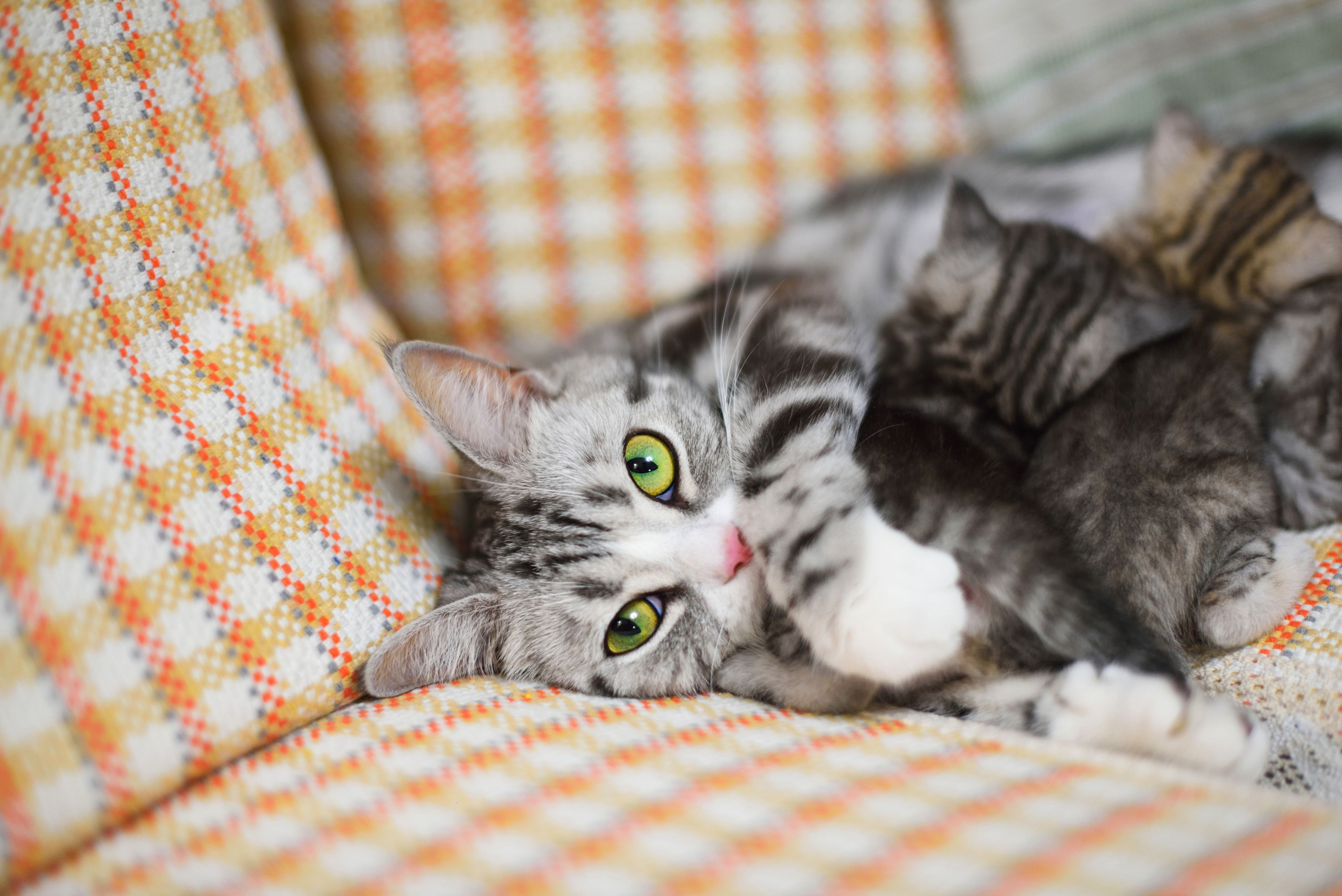 Unlike Dogs Cats Will Go Into Heat Often If Not Spayed Learn What To Expect During The Feline Estrus Cycle And How Long Your Cat Wi Cat In Heat Cats Cat