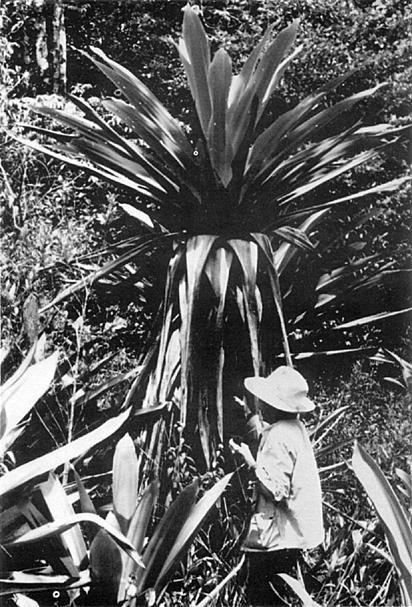 Bromeliad Society explorer 1972  with Brocchinia micrantha