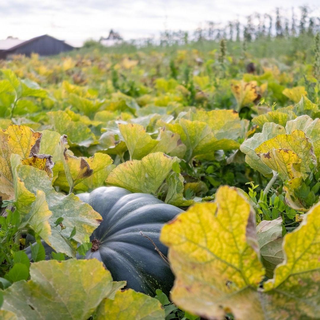 Der September Und Oktober Sind Die Kurbismonate Vom Muskat Kurbis Auf Dem Bild Uber Den Klassiker Hokkaido Bishin Zu Exoten Wie Der So Plants Garden
