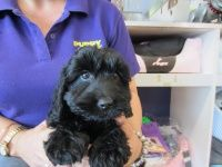 Puppy Shack Puppies For Sale Brisbane Queensland Spoodles The Grange Puppies For Sale Puppies Dogs