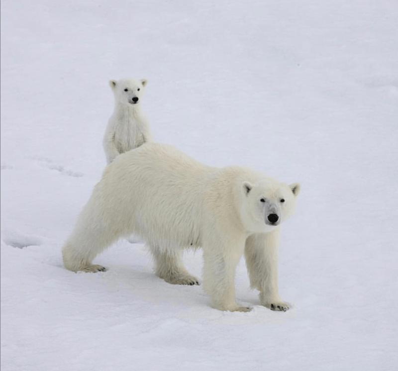 Download Roaring Polar Bear Png Images Background Png Free Png Images In 2020 Polar Bear Polar Bear