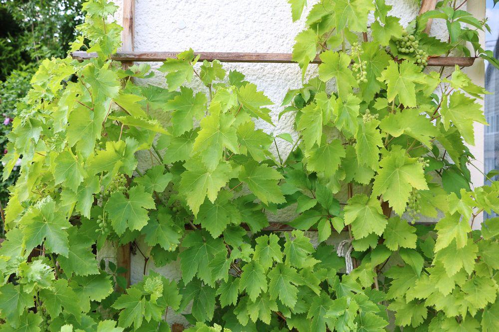25 winterharte und schnellwachsende Kletterpflanzen   Rankpflanzen - Gartendialog.de