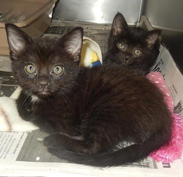 Adopt Kittens 2 On Cat Adoption Pet Adoption Humane Society