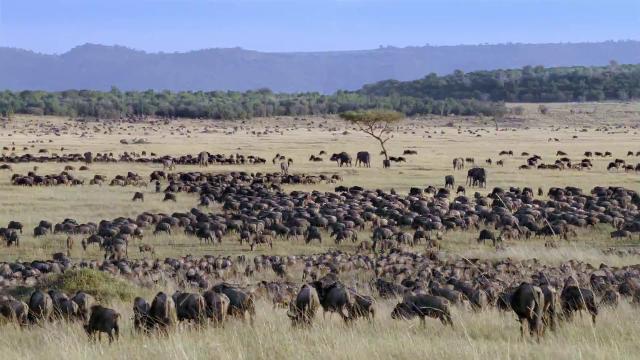 wildebeests migration in Serengeti - www.safaris-intanzania.com