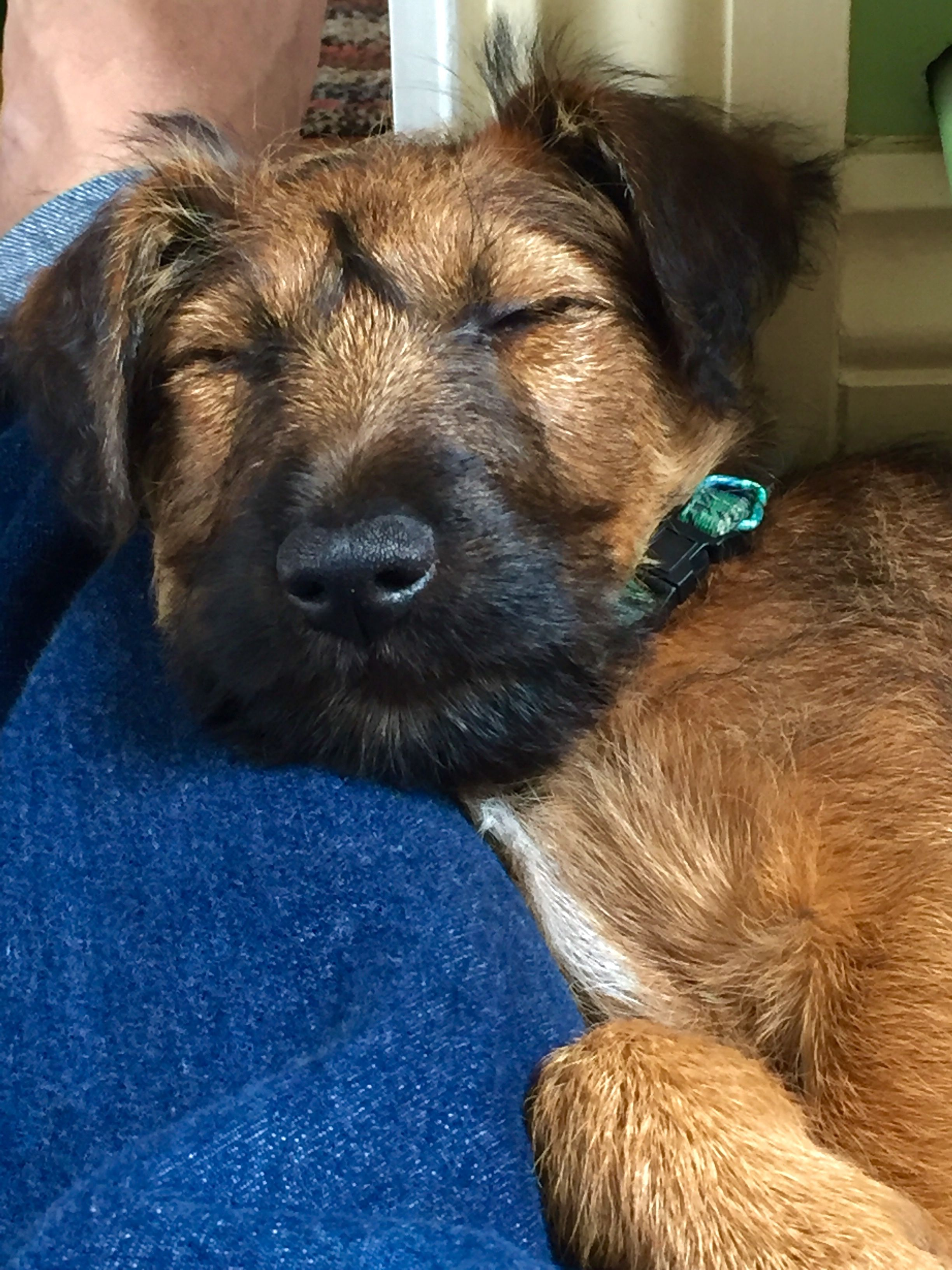 Our Irish Terrier Pup Ziggy 12 Weeks Old Mad As A Hatter Cool