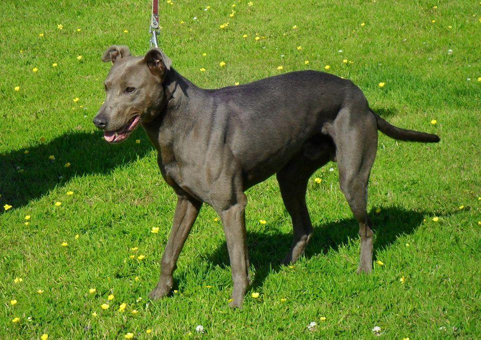 Joey 3 Bull Lurcher K9 Crusaders Dog Welfare Dogs Training
