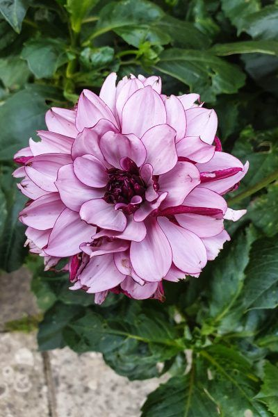 How To Care For Your Dahlias In Winter The Middle Sized Garden Flower Farmer Garden Care Growing Dahlias