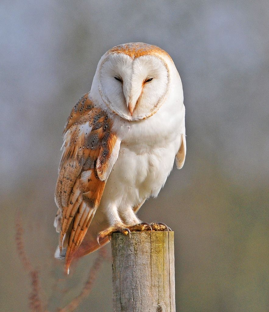 The Barn Owl Trust a small UK charity working hard to conserve one of the most beautiful birds on Earth Owl rescue nestboxes habitat advice owl facts