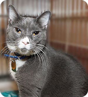 Port Washington, NY - Domestic Shorthair. Meet Mittens, a cat for adoption. http://www.adoptapet.com/pet/12306259-port-washington-new-york-cat