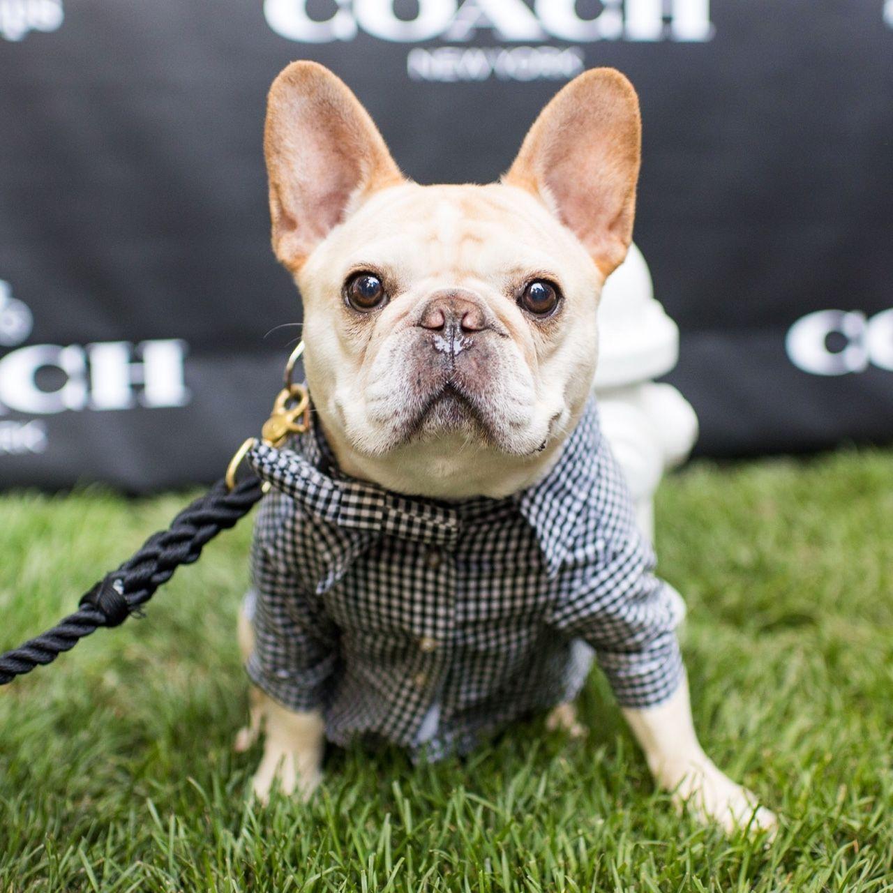 Walter Cronkite French Bulldog 7 Y O Coach Puppy Party New