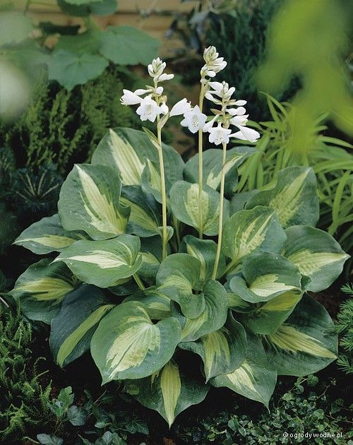 Hosta Dream Queen - HOSTAS,ACE Pinterest Plantas y Amor