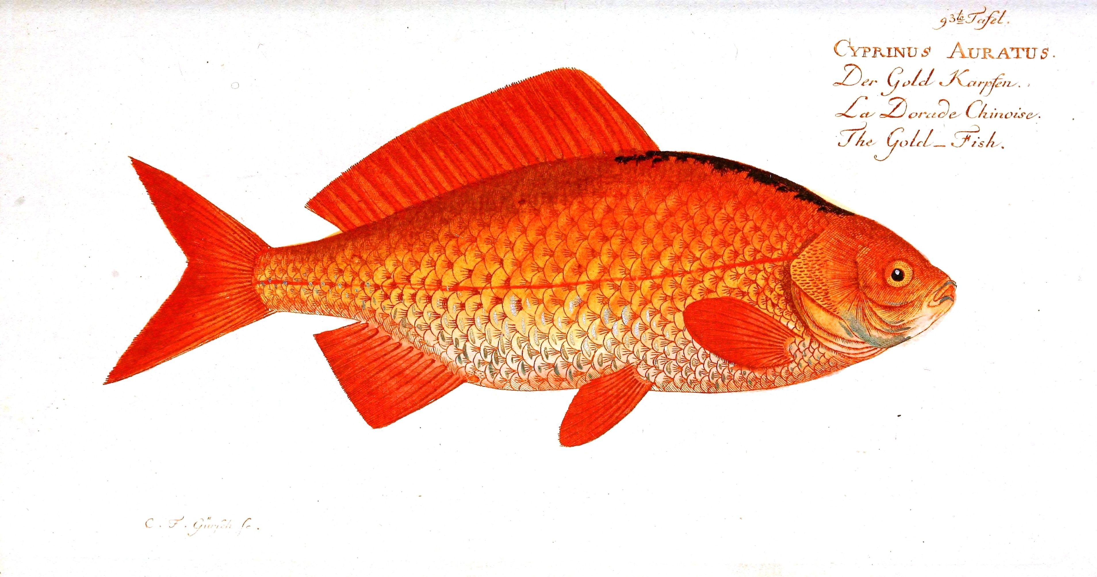 Orange | Animal – Fish – Orange fish | Vintage Printable | Orange ...