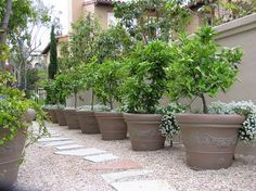 Potted Fruit Trees On Patios