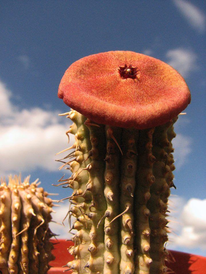 Hoodia Gordonii Cacti Succulents Unique Plants Plants