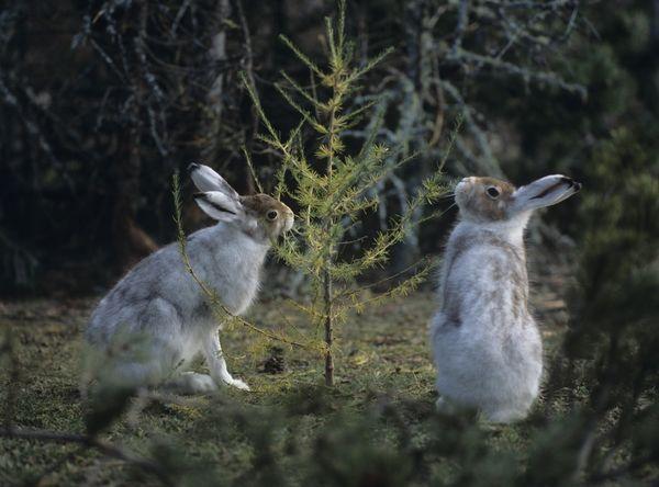 Защита плодовых деревьев от грызунов зимой