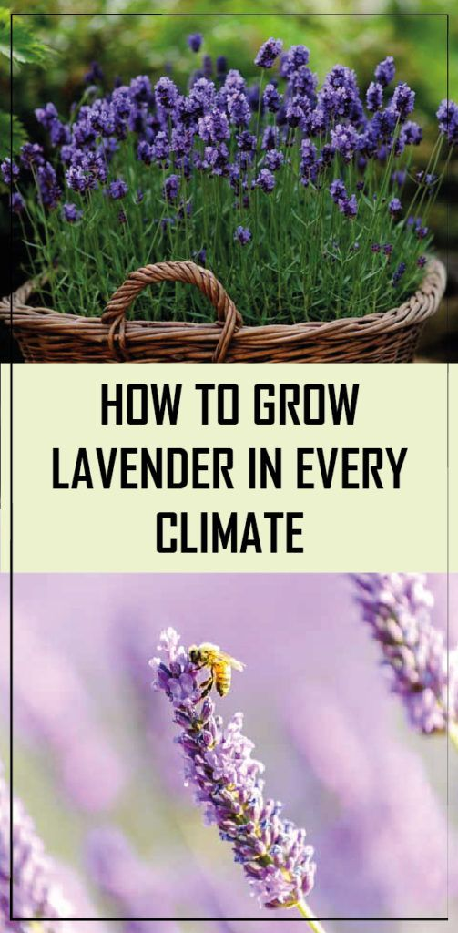 Can Lavender Grow In Florida
