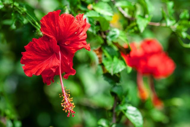 Dreamy Hibiscus rosa-sinensis by hoeadrian, via Flickr
