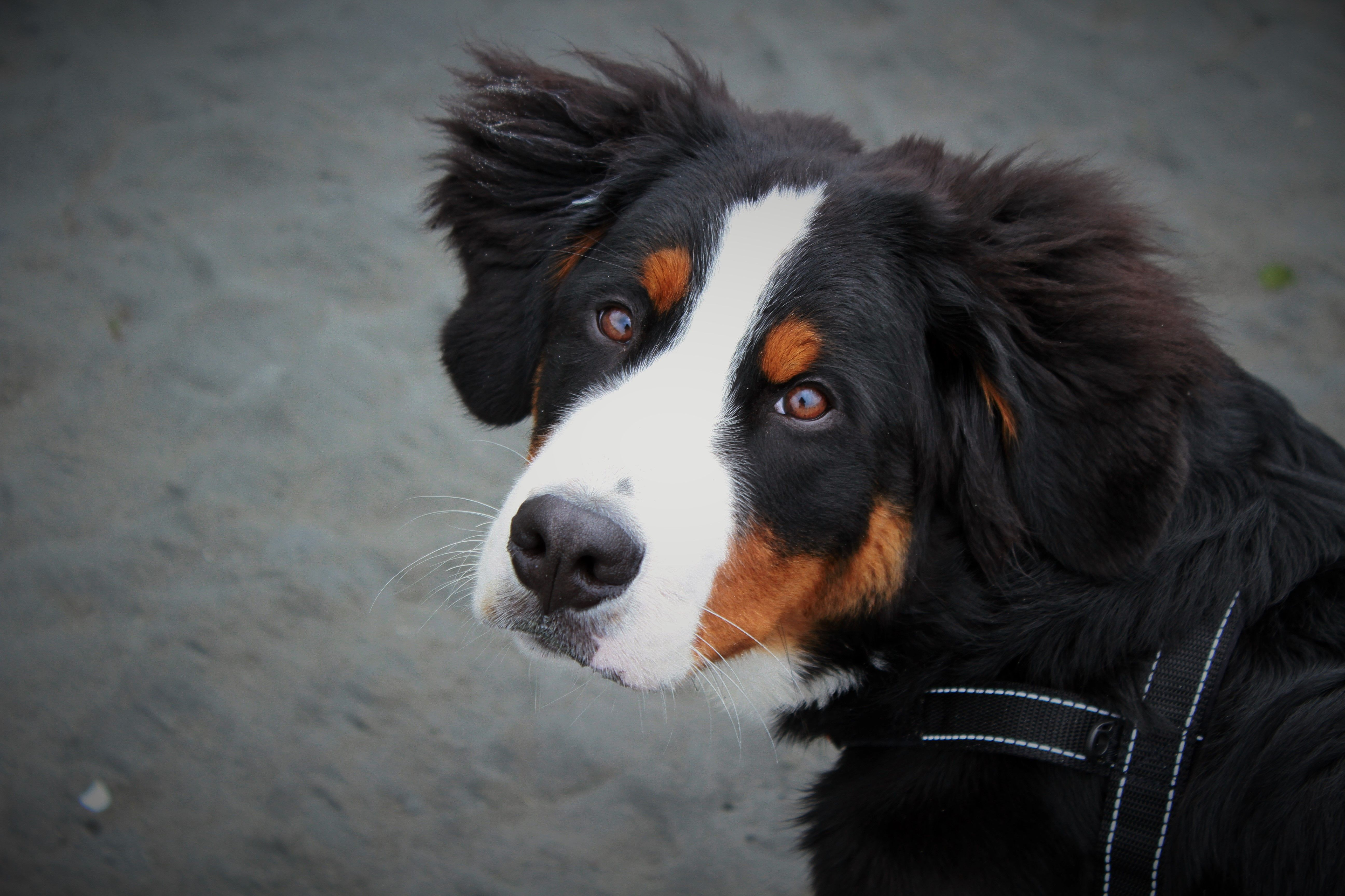 My First Burner Jaxon With Images Bernese Mountain Dog Mountain Dogs Dogs