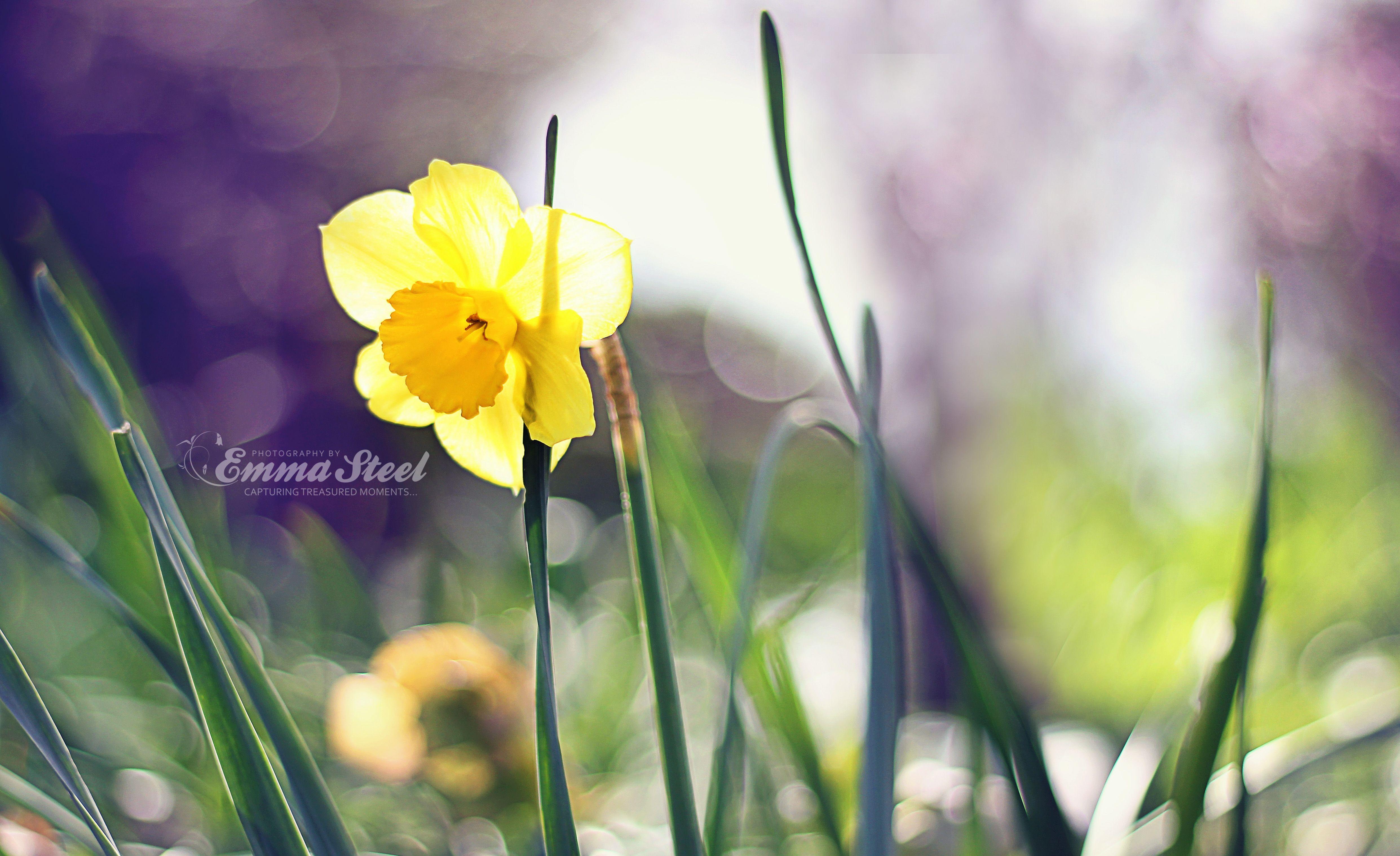 #DaffodilDay #Flower #Spring