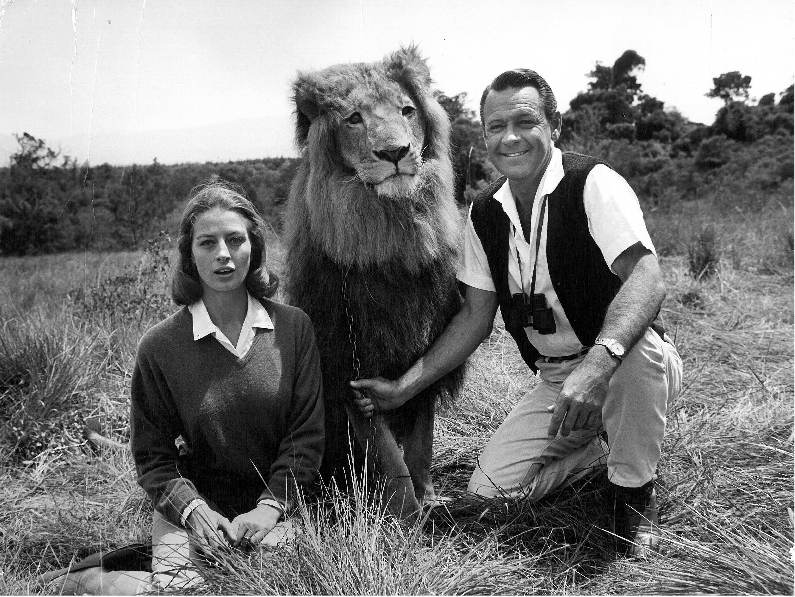William Holden With Zamba The Lion And Capucine At The Fairmont Mount  Kenya Zamba The