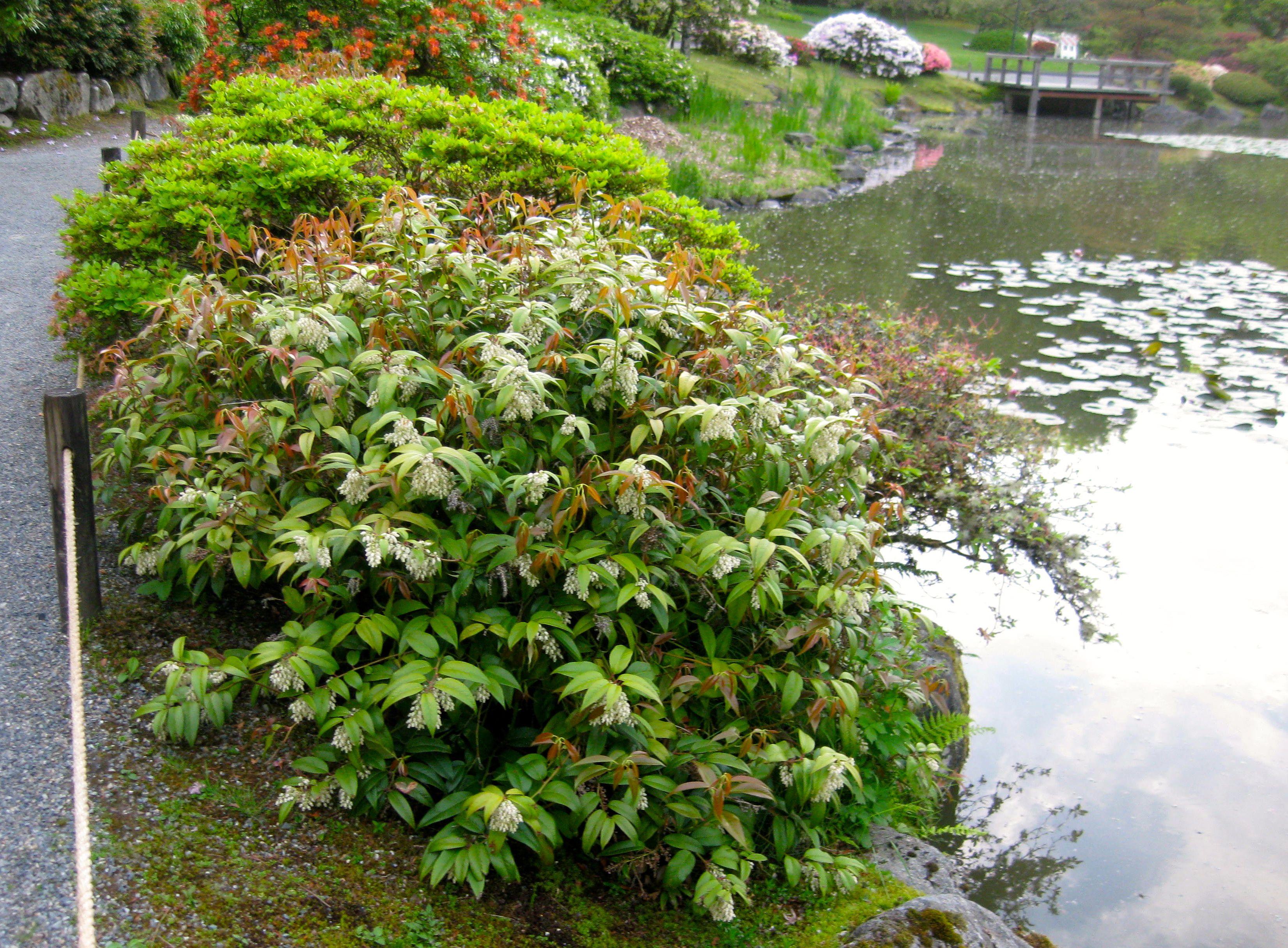 Leucothoe fontanesia an evergreen deer resistant shrub