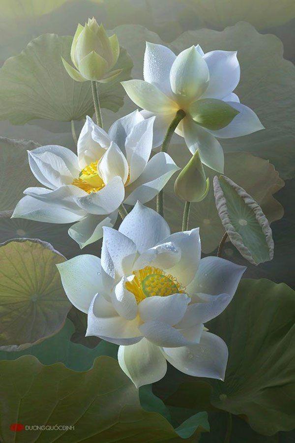 Лотос — символ жизни и счастья | Цветы лотоса, Цветы, Цветоводство
