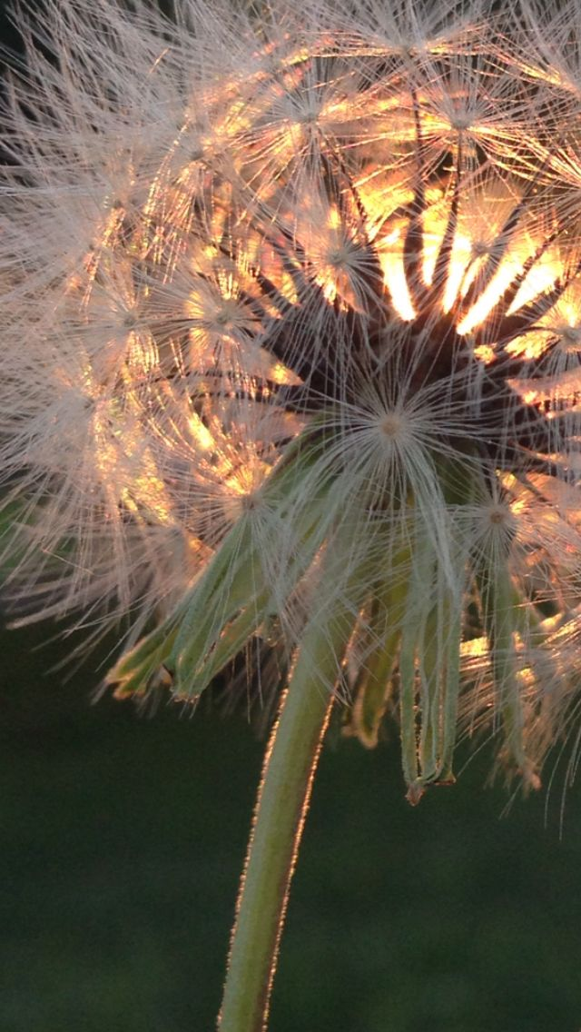 Dandelion Sunset: for you Jenn