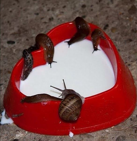 Snails and milk