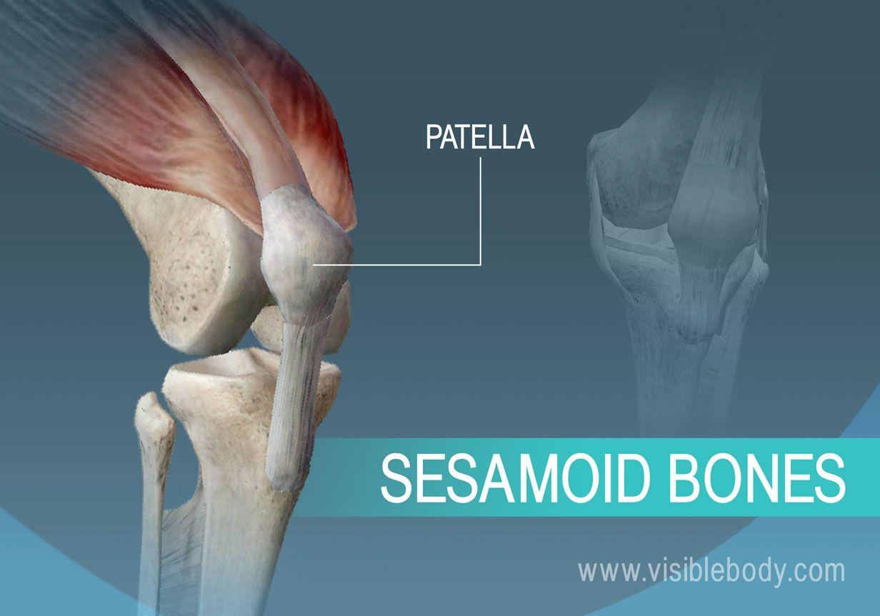 A sesamoid bone of the body, the patella | Pilates | Pinterest ...