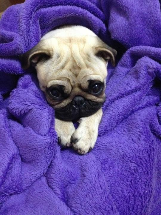 Pugs Can I Stay In Bed For The Whole Day Baby Pugs Pugs Pug Love
