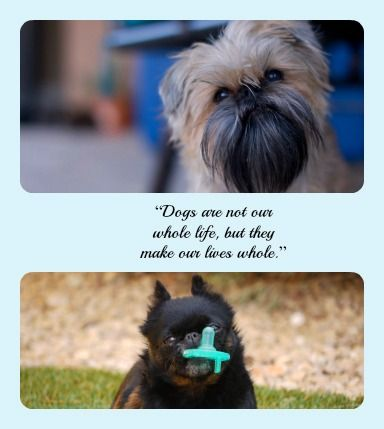 Photo by @Jeremy Pollack & @Monica Shirk with • PicMonkey. #Brussels Griffon