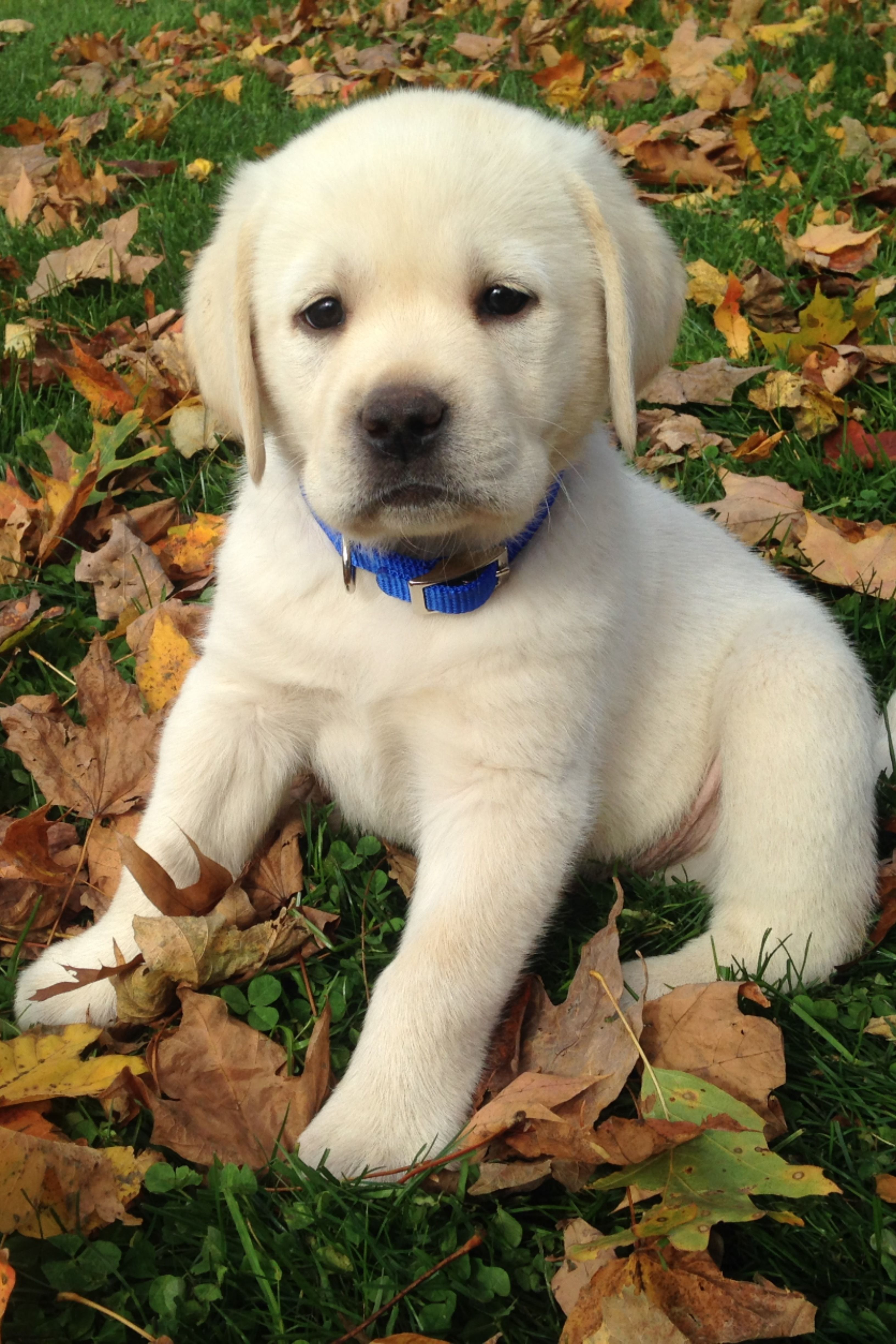 Cute Pictures Of Labrador Puppies
