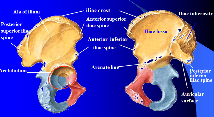 Excavating Bioarchaeology What S That Bone The Ilium
