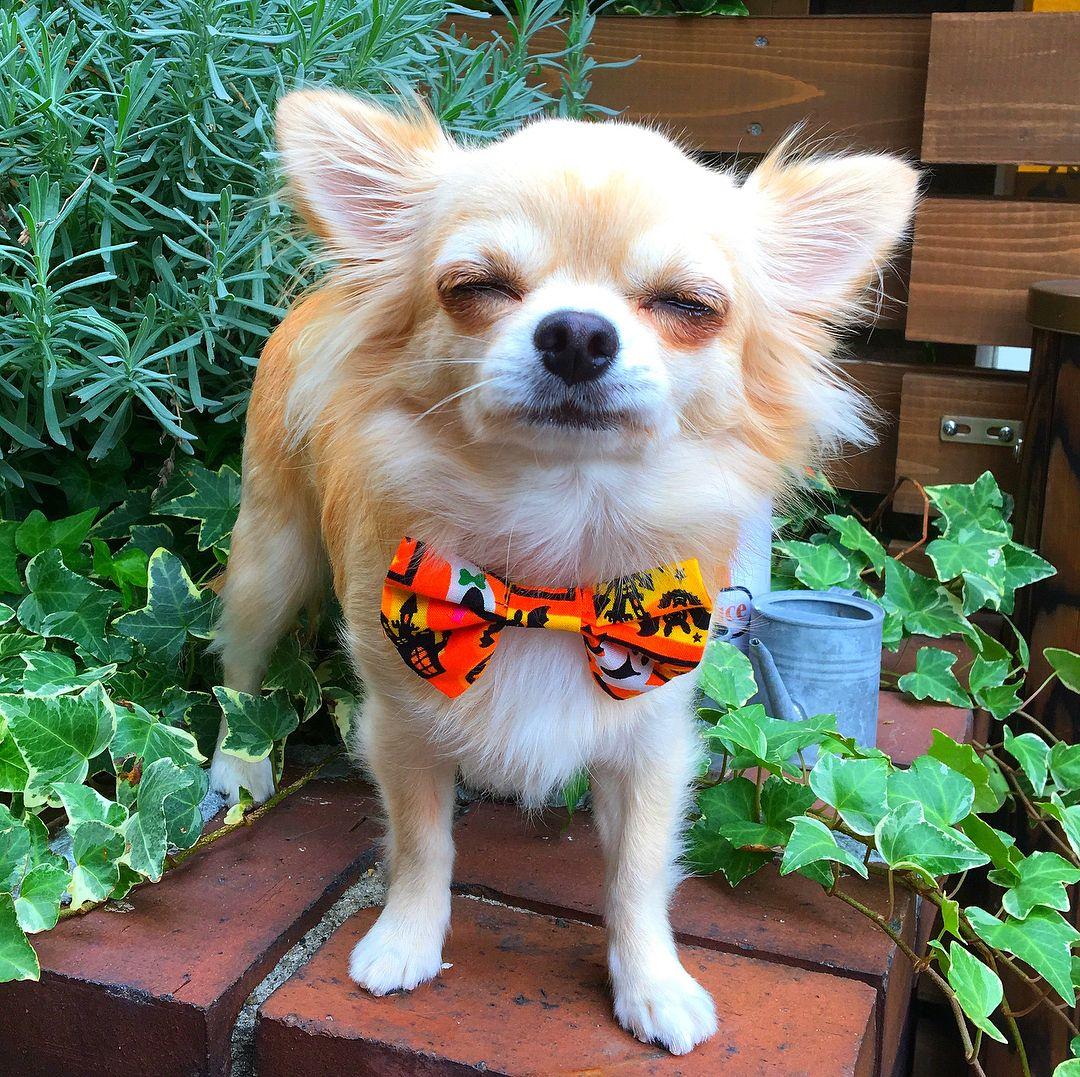 昨日にひきつづき お誕生日記念クッキーセレクトPart3 #トイプーレッド#しろぷー#ホワイトトイプードル#チワワ#兄弟犬#癒し犬#幸せな日 #ちわわなしでは生きていけません会 #ワンコなしでは生きて行けません会#10ワン10色親バカ会 #toypoodles#poodlepuppy #picsofdogmodels#smilingdog #dogsofinstamedia#puppy#chihuahualovers#chihuahuapuppy#happiness#west_dog_japan#dogstagram_japan#bestfriends_dogs#bf_together
