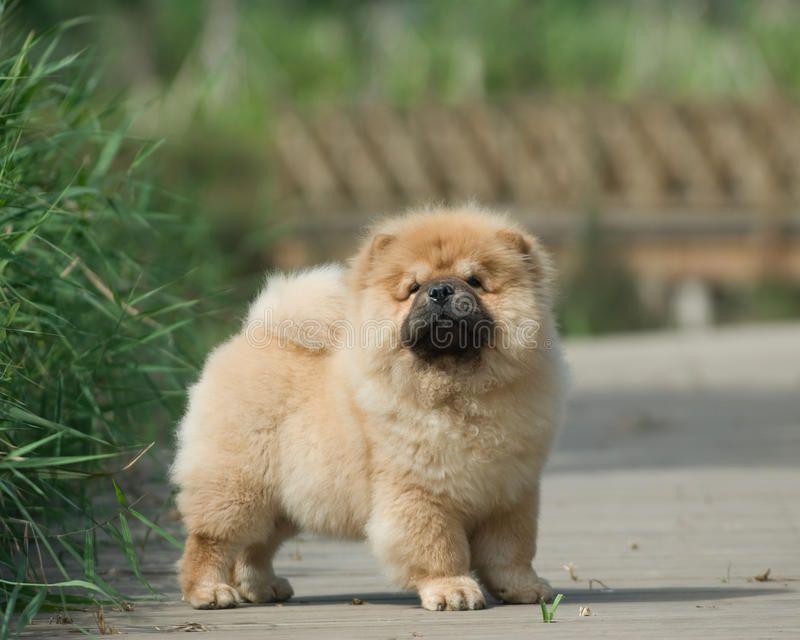 Dog Pet Chow Chow A Dog Pet Chow Chow Spon Pet Dog Dog
