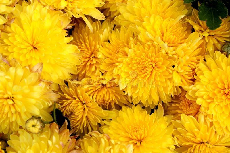 Texture Of Yellow Fresh Chrysanthemum Flowers Head A Lot Texture Chrysanthem Sponsored Flowers Head Lot Chrysanthemum Flower Chrysanthemum Flowers
