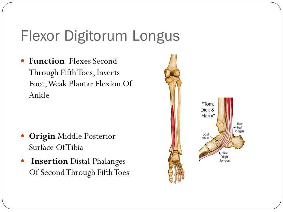 flexor digitorum longus – citybeauty, Cephalic Vein