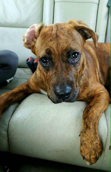 Pitbull Boxer Mix Pitbox Puppy Brindle Pitbull Boxer Mix