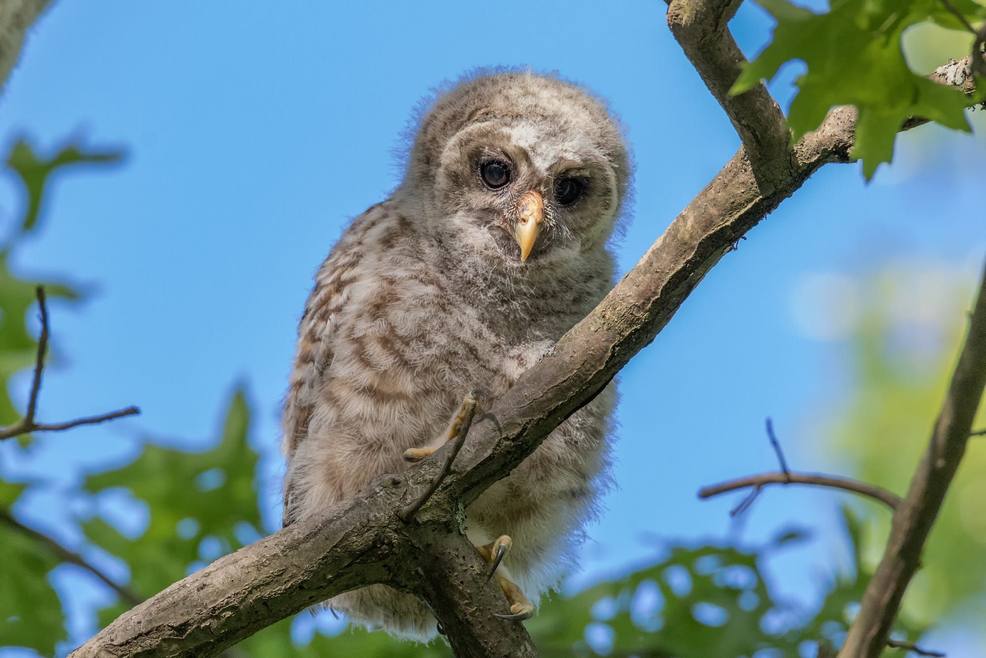Barred Owl owlet  by Nick Jaramillo on 500px
