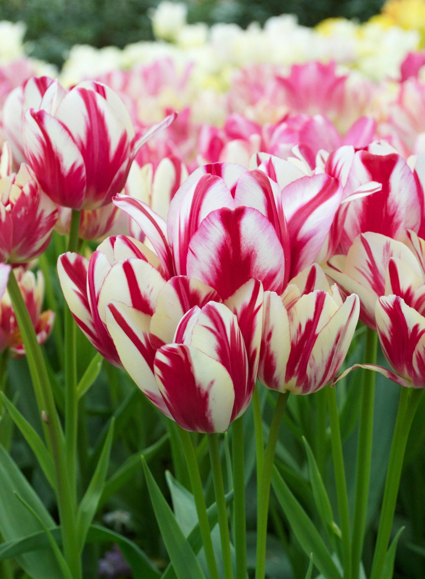 Tulip Pink And Green Spring Garden Flowers Spring Flowers Flowers