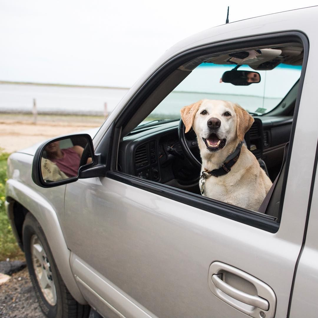 Murphy Labrador Retriever 10 Y O Powder Point Duxbury Ma