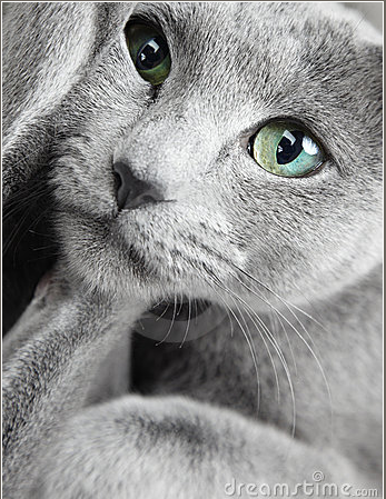 Pin By Starsweeper On My Favs Russian Blue Russian Blue Cat Blue Cats
